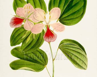 Buddhist Bauhinia Flower Art Print, Botanical Art Print, Flower Wall Art, Flower Print, Floral Print, red, pink, green