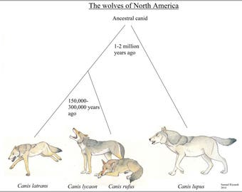 Poster, Many Sizes Available; Evolutionary Chart Of North American Canis, Wolf Wolves