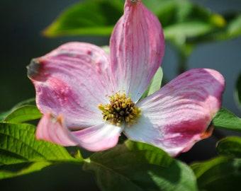 Pink Dogwood Blossom -  Pink - Photo Print