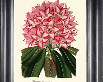 Botanical Print H132 Beautiful 8X10 Antique Pink White Rhododendron Flower Garden Nature Room Wall Decoration to Frame