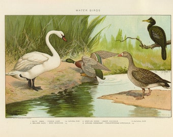 Vintage 1907 Book Plate — Water Birds