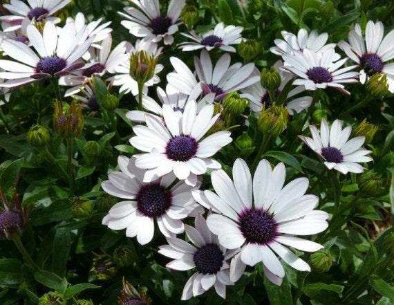 Erbstück 120 Samen Osteospermum Samen Himmel und Eis O
