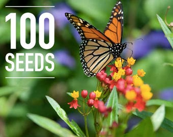 100 Seeds - Asclepias curassavica: Tropical milkweed, Mexican milkweed, Scarlet milkweed, Bloodflower - Monarch Butterfly Host Plant