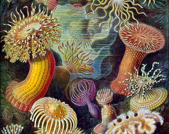 Poster, Many Sizes Available; Sea Anemones Classified As Actiniae. By Ernst Haeckel C1904