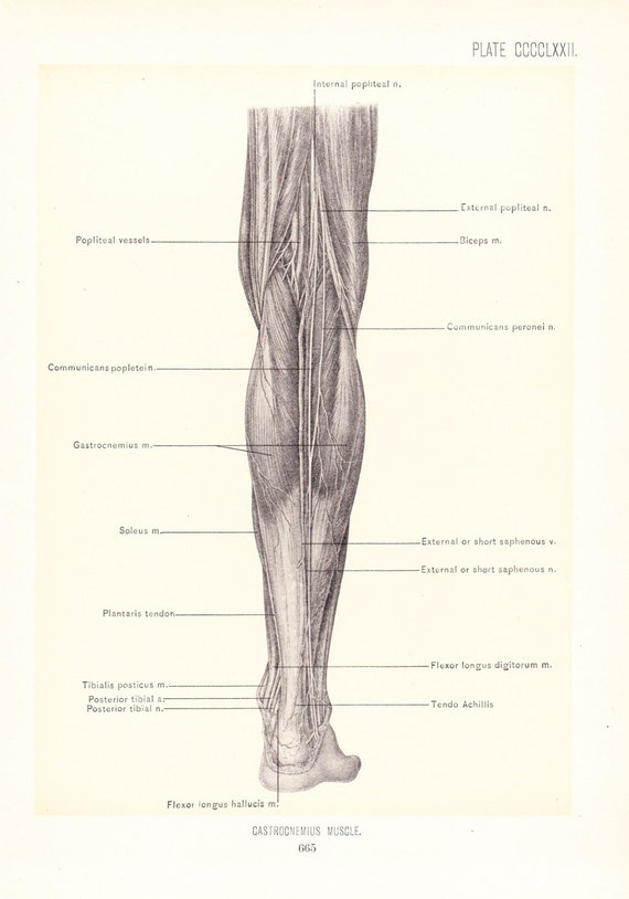 1899 Human Anatomy Print Gastrocnemius Muscle Of Leg