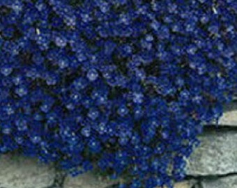 Aubrieta Rock Cress Blue Flower Seeds / Perennial  50+