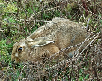 Wild Brown Hare lying low, wall art, photo print, Wiltshire, England, donation to Wiltshire Wildlife Trust, wonderful gift