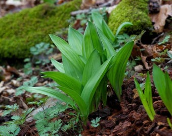 Wild Leek Seeds ( Ramp ) - 50 Native Seeds, Wild Harvest