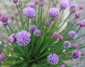 Common Chive Seeds - Perennial herb, Allium Seeds, Easy to grow, Organic Chives, Heirloom Chives, Salad Onion, Culinary Herb, Green onion