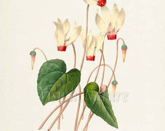 Cyclamen Flower Art Print, Botanical Art Print, Flower Wall Art, Flower Print, Floral Print, Redoute Art, Garden, white, green