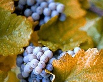 Concord Grape Seeds, Fruit Vine, Vitis labrusca, Perennial Fruit Plant