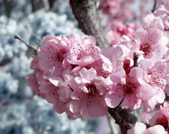 Pink Cherry Blossom Tree Fine ARt Photography