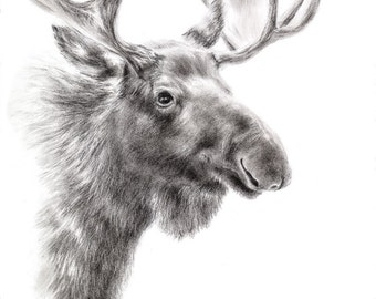 Moose Drawing Charcoal Art Print Wildlife