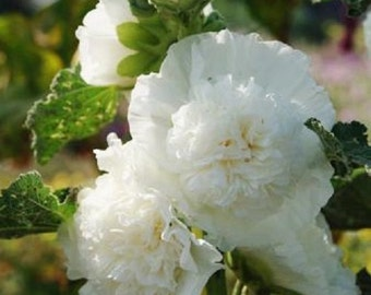 White Double Hollyhock Flower Seeds / Alcea / Perennial  30+