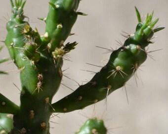 Cholla Cactus Live Plant Cuttings, Sun Loving Cacti Starts, Live Succulent Plants