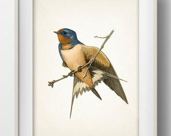 Barn Swallow - BI-13 - Fine art print of a vintage natural history antique illustration
