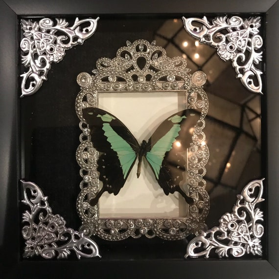 Real green bottle butterfly taxidermy display
