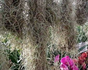 Moss For Less Spanish Moss Live Orchids Love Spanish Moss Weeki Wachee  Florida Spanish Moss Great