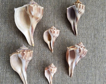 """Set of 6 beautiful lightning whelks from 5"""" to 2 3/4"""" in size, the only left handed shells in Florida."""