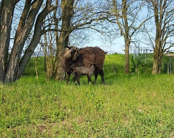 Washed black wensleydale wool