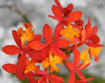 Orange Flower Photo, 5x7 Photo, 8x10, 11x14 Photo, Epidendrum Orchid Photo, Fine Art Photo, Botanical Photo