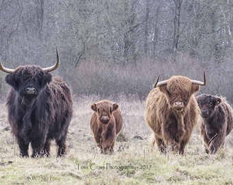 Highland Cows and Calves Herd Mounted or Framed Photograph, Wall Art, Highland Cattle Print