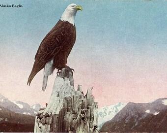 Alaska American Bald Eagle Eagle Vintage Postcard circa 1910 (unused)