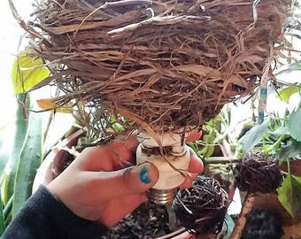 foraged bird's nest in lightbulb// robins//birds nest// silly birds