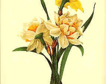 Redoute Botanical Print -  - Narcissus - 82