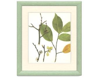 Wych Elm, Vintage Tree Print, Botanical Book Plate, Deciduous Hardwood, Nature, Landscape, Frameable Art, RAY/1977/38