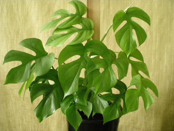 25 Rhaphidophora Tetrasperma Seeds Philodendron Imbe Ginny
