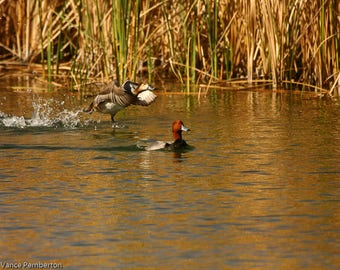 Duck Photography-Bird Photography-Wildlife-Home Decor-Animal-Art and Collectibles