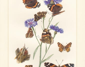 Vintage lithograph of red admiral, map, brush-footed butterflies from 1956
