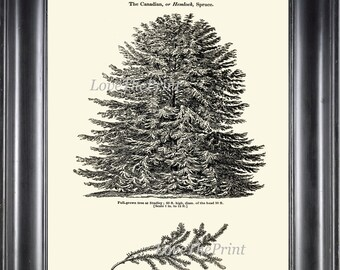 Pine Tree Art Print 14 Antique Beautiful Hemlock Spruce Fur Pine Pine Cone Botanical Trees Forest Nature Home Living Room Wall Decor