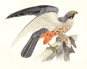 Hobby . Antique Bird Print . original vintage art . hand coloured woodblock plate . dated 1895