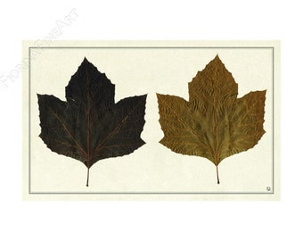 Ehemalige Herbarium/Platane de Bourgogne/FINE ART PRINT/Fiorina Editionen