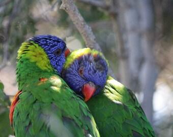 Lorikeets in love