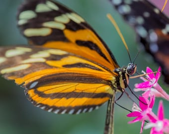 "Nature Photography, ""Getting Nourishment"", Butterfly, Flowers, Customizable Sizes Available Upon Request"