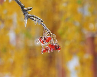 Autumn Photography, Frozen Rowan on Yellow, Fine Art Photography, Nature Photo, Wall Art, Fine Art Print, First Snow, Decor, Fall Card