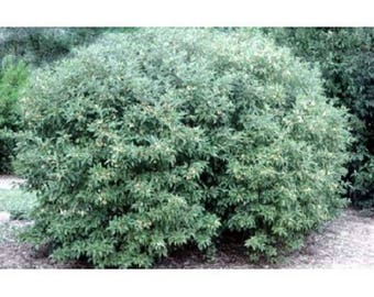 10 Gray Dogwood Tree Seeds, Cornus racemosa