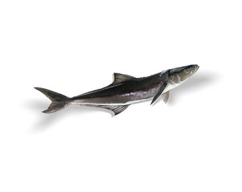 Cobia Decal, Cobia Sticker, Cobia