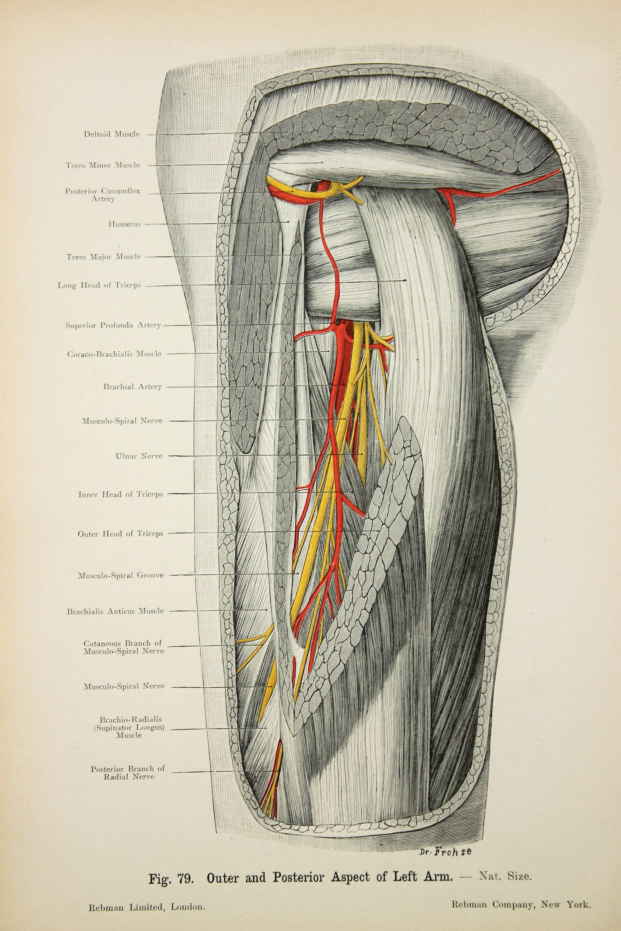 Arm Nerves Arteries Veins Muscles c.1900 DOUBLE SIDED