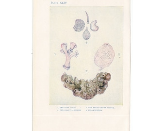 C. 1907 ANTIQUE CORAL LITHOGRAPH - original antique print - sea life marine beach ocean - coral and sponges