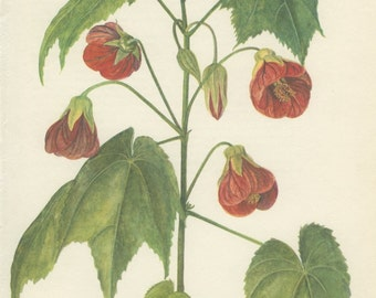 Red Flower, Vintage Botanical Print, Abutilon, Maple, Bellflower, Indoor Plant, Flower Art, Country Home Decor, Country Cottage, 1968/21
