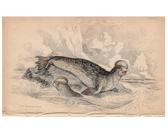 c. 1833 ANTIQUE SEAL PRINT - original antique engraving - marine animal print - ocean sea beach decor - by Lizar  - crested seal