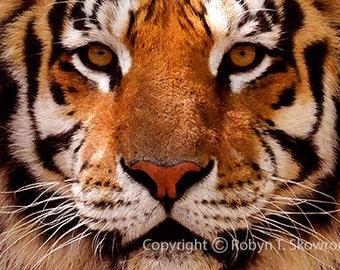 Intense - Pickerington Tigers, Mizzou Tigers, Wall Decor - 4x6 Fine Art Photograph