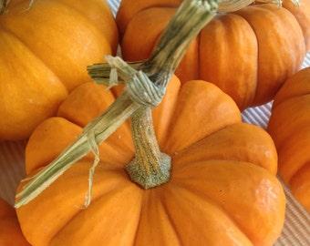 Jack Be Little Miniature Pumpkin Seeds Heirloom Grown to Organic Standards