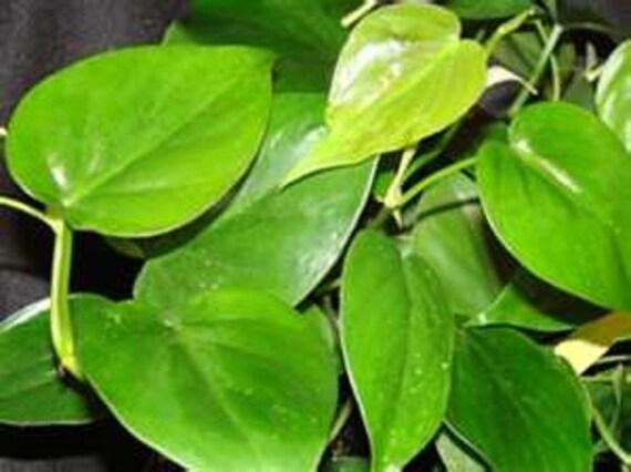 plante verte feuille coeur