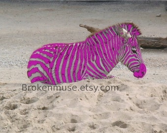 Bright pink zebra - Altered Photography ACEO - Stand Out ACEO Print