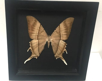 Lyssa Zampa Moth Butterfly/Insect/Taxidermy/Lepidoptera.